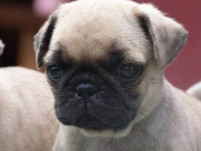 cachorros-pug-con-microchip-y-certificado-de-salud-390-000