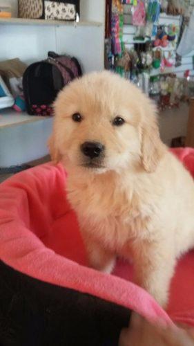 maravillosos-cachorros-golden-retriever-linea-de-campeones-450-000