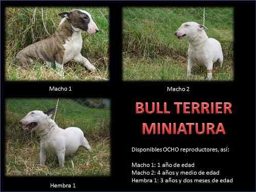 bull-terrier-miniatura-pedigri-especializada-en-la-raza-700-000
