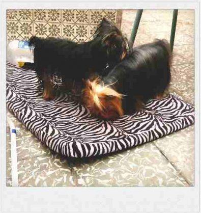 cachorros-yorkshire-inscritos-para-reserva-350-000