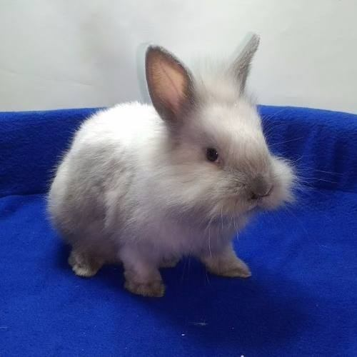 conejos-de-raza-enanos-cabezas-de-leon-orejas-caida-pethome-14-900