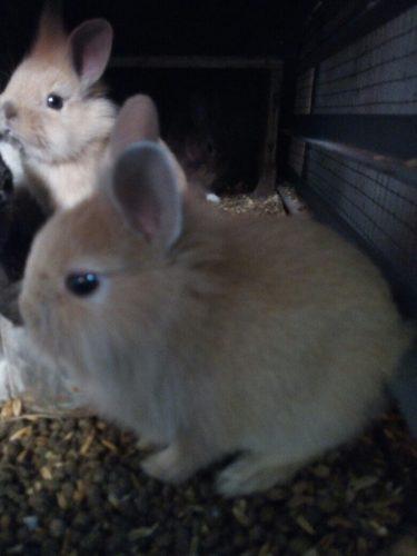 conejos-de-raza-enanos-solo-mascota-18-000