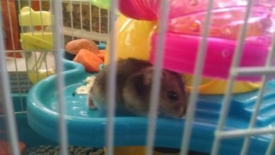 hamster-chino-ruso-hermosos-pethome-chile-4-000