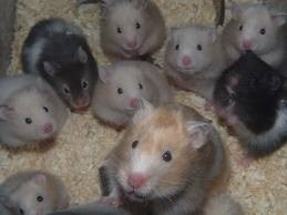 hamster-golden-variados-colores-3-000