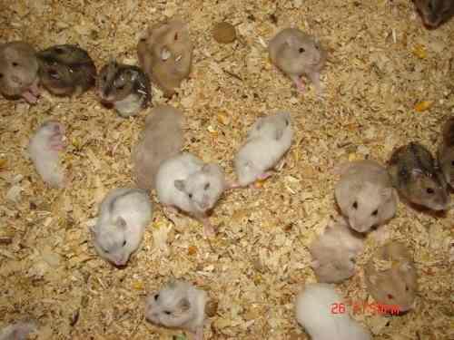 hamster-rusos-al-detalle-3-000