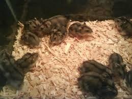 hamster-chino-al-detalle-5-000