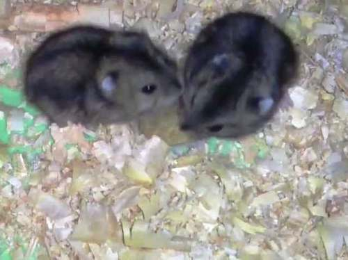 hamster-chino-5-500
