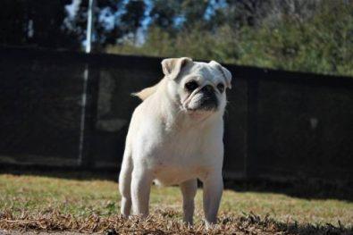 precioso-macho-pug-carlino-exotico-para-cruzas-700-000