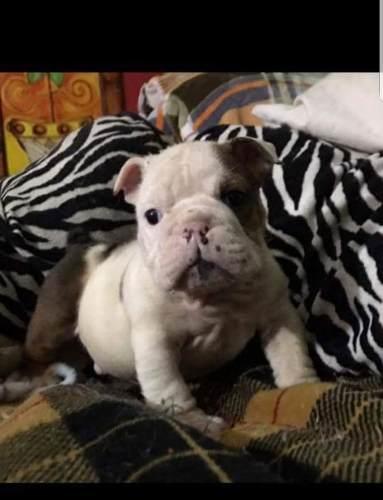 bulldog-ingles-exoticos-680-000