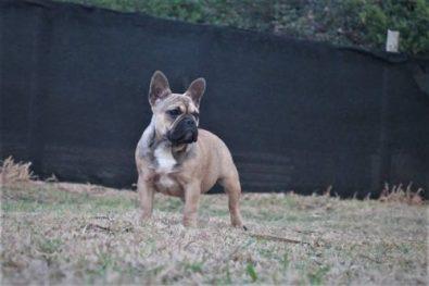 cachorras-bulldog-frances-disponible-hijas-de-padre-exotico-950-000