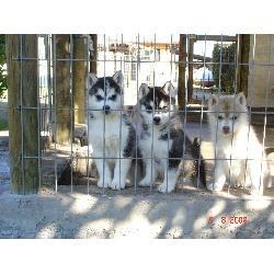 siberianos-cachorros-430-000