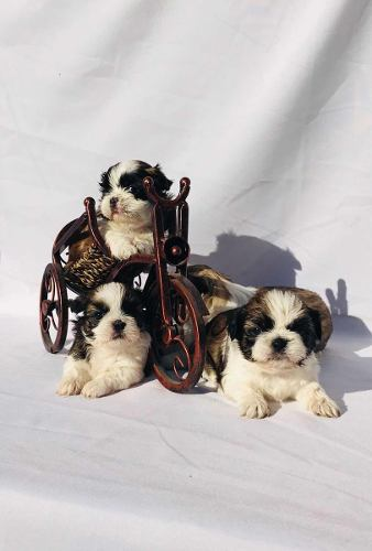 shih-tzu-machos-gran-pedigree-390-000