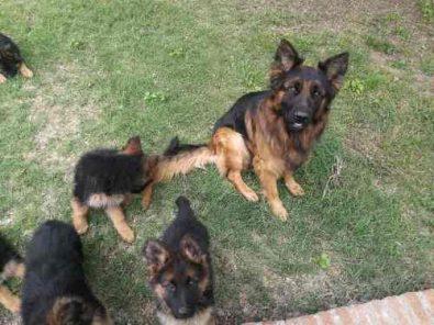 cachorros-pastores-alemanes-pelo-largo-rojizo-3-meses-170-000