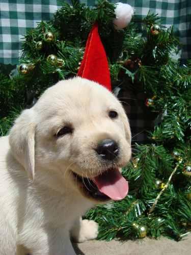 extraordinarios-cachorros-labradores-retriever-inscritos-350-000