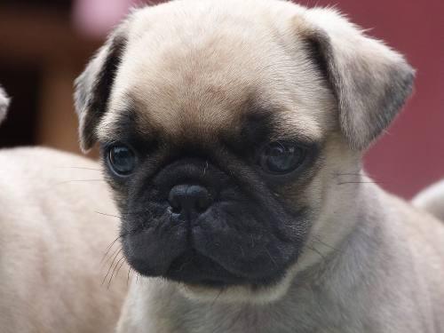 cachorros-pug-reservas-navidad-microchip-390-000