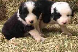 border-collie-cachorros-finisimos-inscritos-360-000