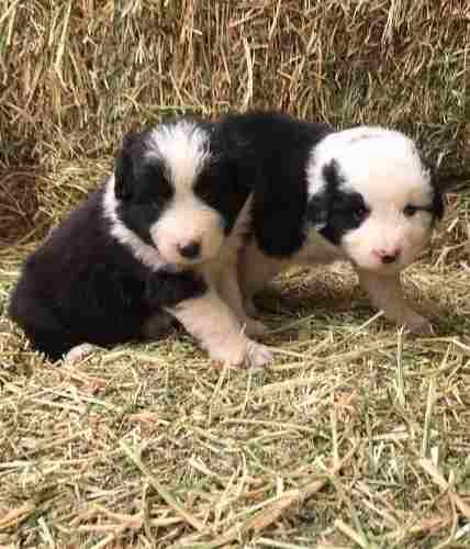 border-collie-cachorros-finisimos-inscritos-360-000