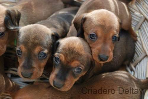pequenos-salchicha-dachshund-miniatura-cafe-220-000