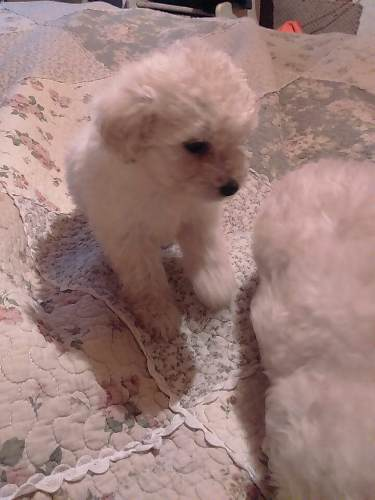 cachorritos-poodle-toy-120-000