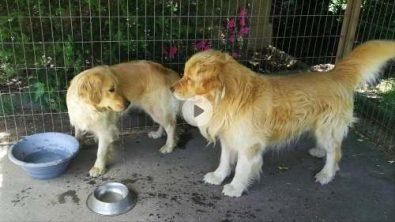 cachorros-golden-inscritos-350-000