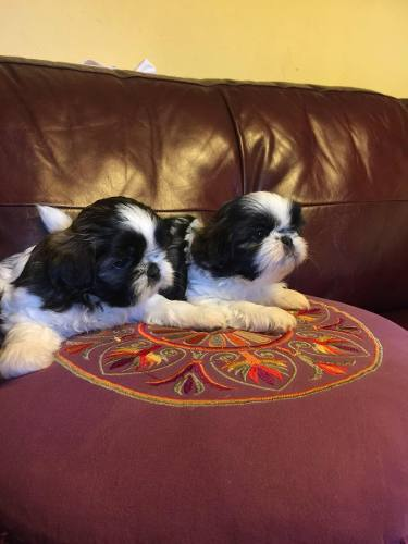 bellisimos-machitos-shih-tzu-inscritos-kcc-420-000