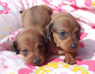 hermosos-dachshund-salchicha-cafe-padre-arlequin-200-000