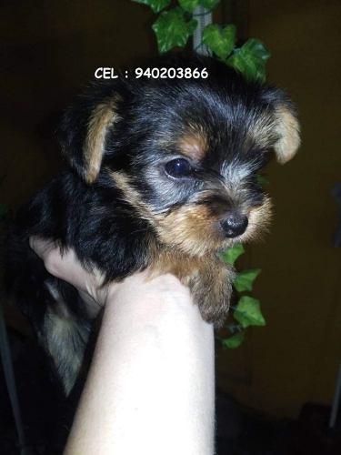 yorkshire-terrier-verdaderamente-enanos-195-000
