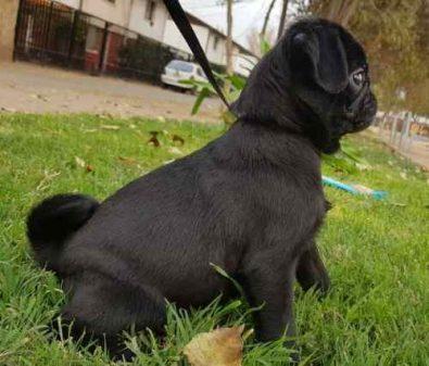 cachorro-pug-carlino-inscrito-kcc-330-000