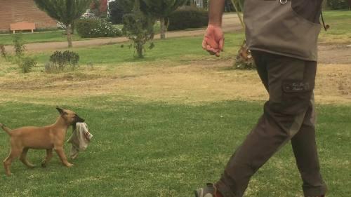 perro-guardian-seguridad-proteccion-lealtad-malinois-450-000