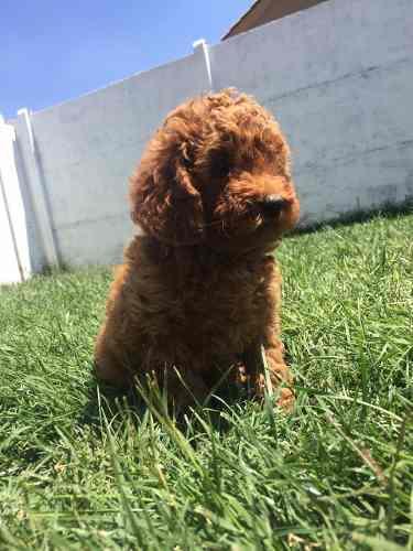 cachorritos-poodle-rojos-300-000