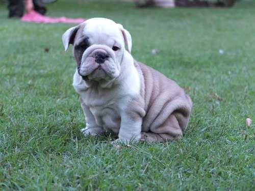 hermosos-bulldog-ingles-microchipeados-y-con-garantias-650-000