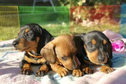 salchicha-dachshund-miniatura-negro-fuego-y-cafe-200-000