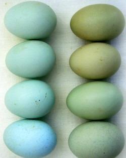 huevos-fertiles-de-gallina-araucana-kolloncas-y-ketro-1-000
