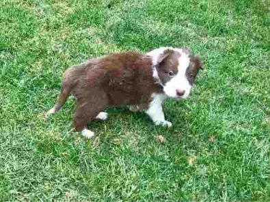 border-collie-cachorros-finisimos-chocolate-inscritos-600-000