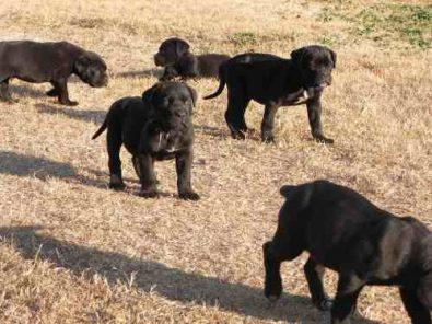 espectaculares-cachorros-cane-corso-350-000