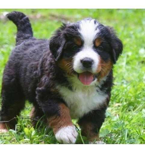 boyero-de-berna-cachorros-600-000