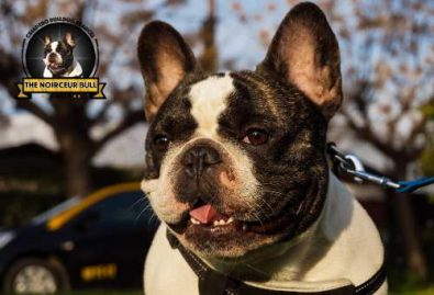 expectacular-macho-bulldog-frances-servicio-stud-500