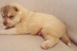 siberianos-cachorros-480-000