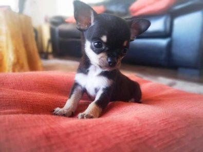 cachorros-chihuahuas-400-000