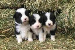border-collie-cachorros-finisimos-290-000