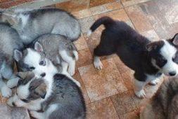 perritos-husky-padre-directo-de-alaska-segunda-camada-450-000