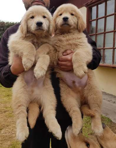 golden-retriever-cachorros-450-000
