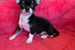 chihuahua-macho-inscrito-kennel-club-chile-450-000