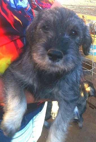 schnauzer-standard-medianos-cachorros-hermosos-de-2-meses-450-000