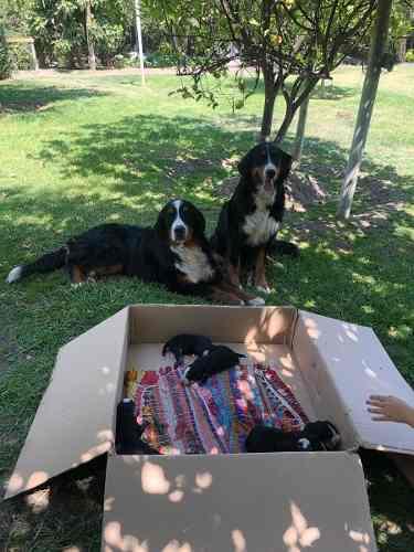 cachorros-boyero-de-berna-no-inscritos-270-000