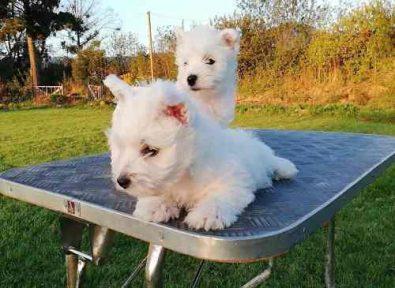 cachorros-westy-inscritos-600-000
