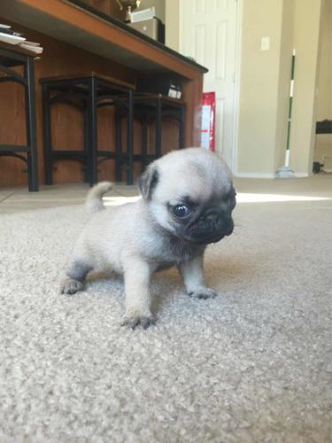 cachorro-pug-pequeno-350-000
