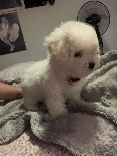 hermosa-poodle-hembrita-toy-micro-toy-200-000