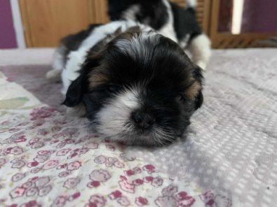 cachorro-shitzu-tricolor-machito-mini-320-000
