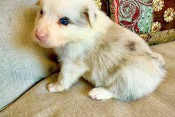 border-collie-cachorros-finisimos-340-000